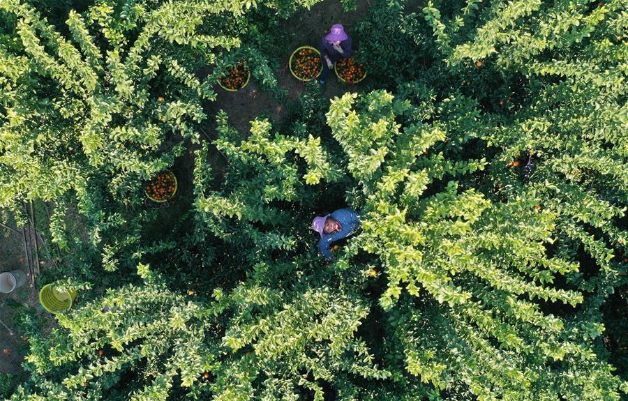 可愛的鄉村——廣西鹿寨縣橘橙豐收
