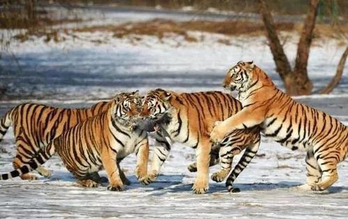 全國首家東北虎豹安全暨生態資源保護聯調指揮中心在琿春成立