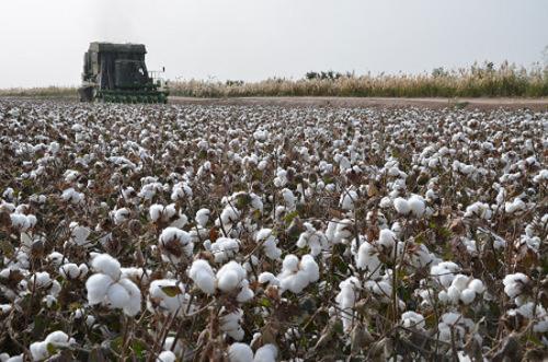 新疆棉花産量佔全國84.9% 比重創新高