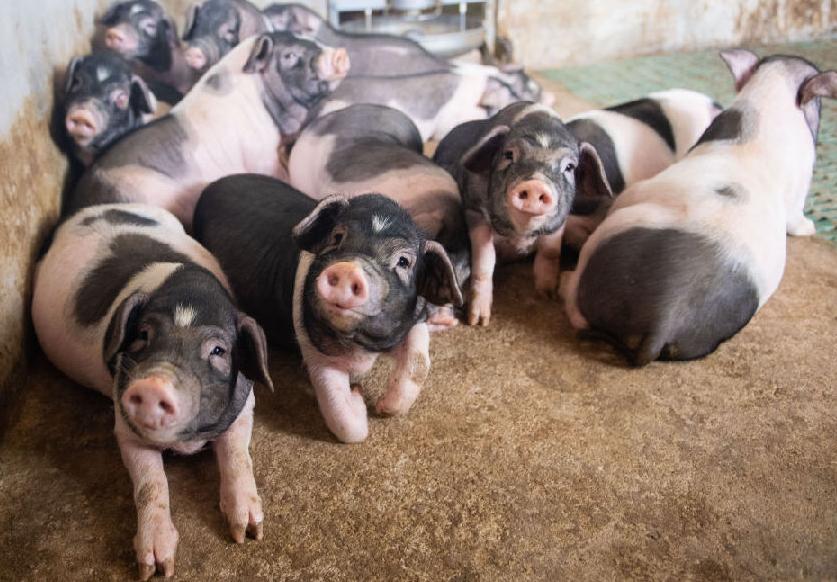 小豬領回家 增收又脫貧