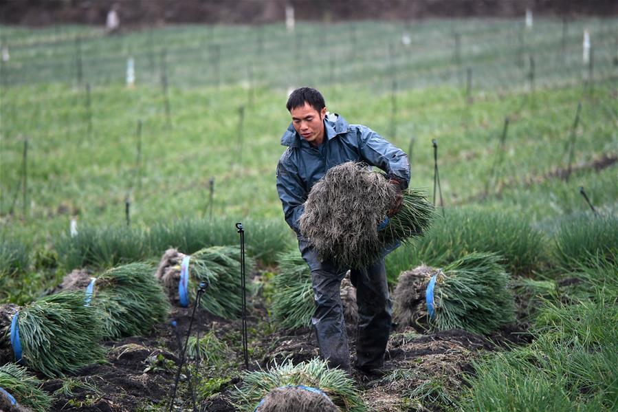 廣西柳江:收獲香蔥供應市場