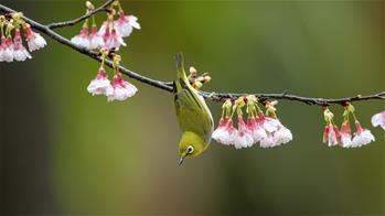 櫻花枝頭鳥翻飛