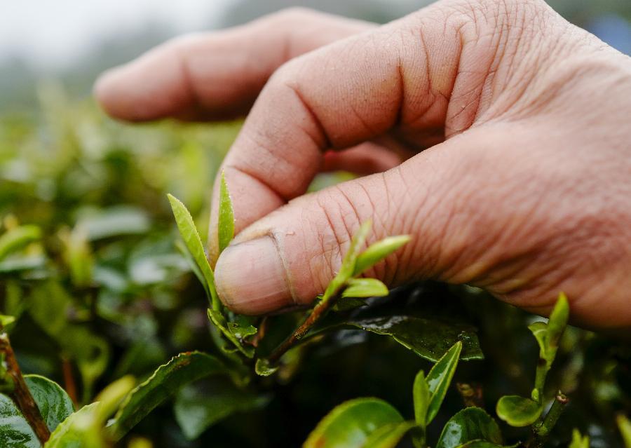 重慶南川:生産防疫兩不誤 早春茶採摘加工忙