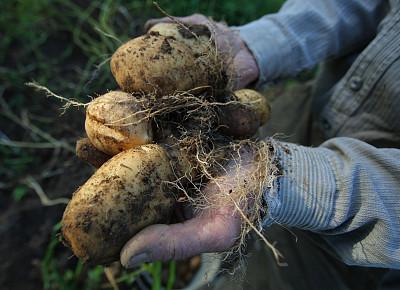 北京:門頭溝採購18萬斤扶貧土豆