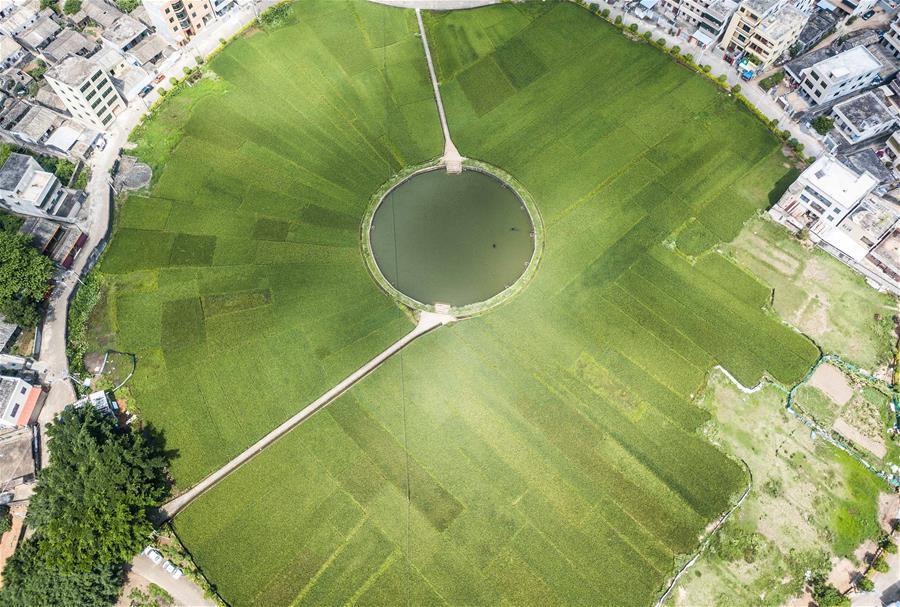 海口:稻田飄香 豐收在望