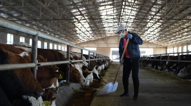 內蒙古扎蘭屯:養肉牛 促增收