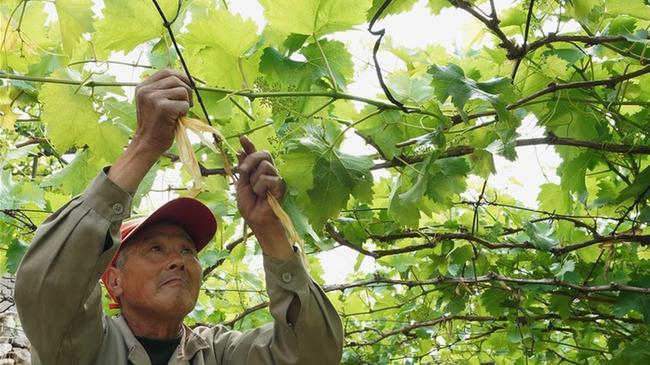 河北豐潤:葡萄種植專業村夏管忙