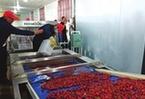 甘肅首條櫻桃現代化自動分揀生産線在天水上線