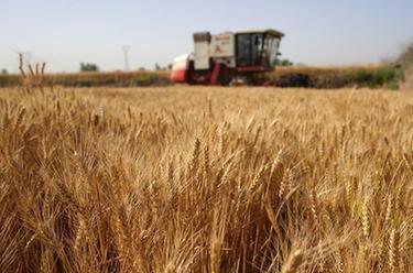 河北小麥開鐮收割