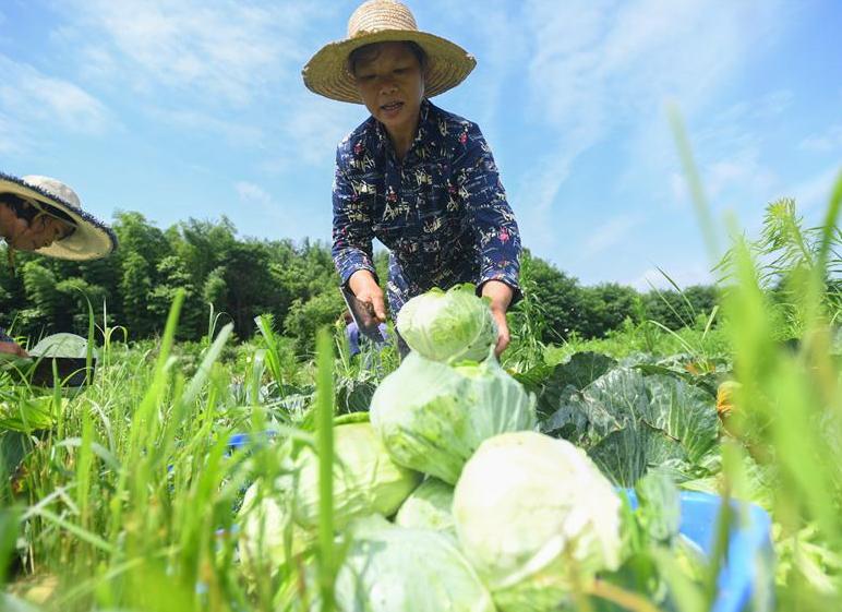 蔬菜産業助農脫貧增收