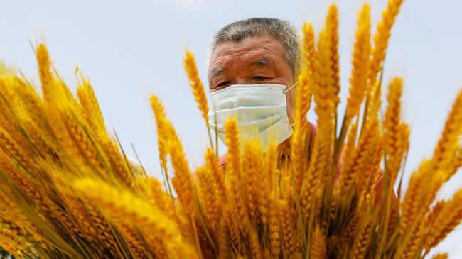 河南寶豐:幹花小麥 助農增收