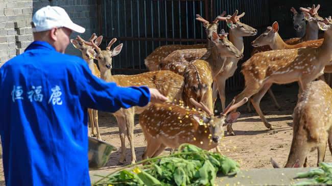 河南光山:養殖梅花鹿富農家
