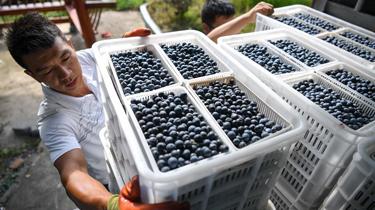 貴州麻江:藍莓種出富民産業
