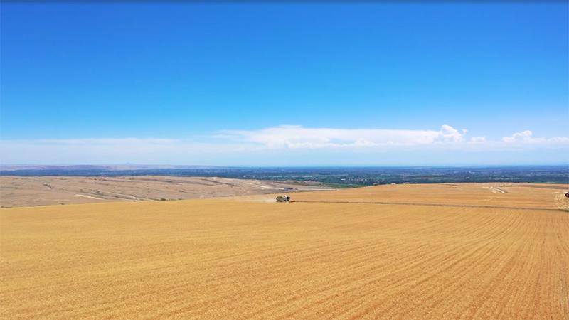 航拍新疆:麥浪滾滾!霍爾果斯2.3萬畝小麥開鐮收割