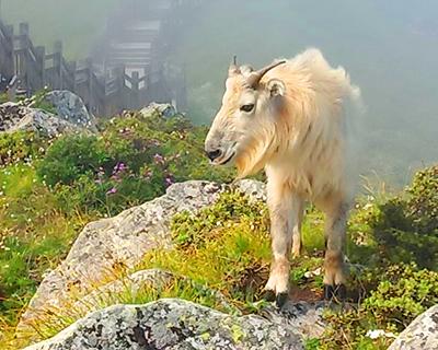【微視頻】秦嶺太白山景區發現國家一級保護動物羚牛