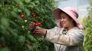 貴州黔西:規模化發展經濟作物 提升壩區農業效益