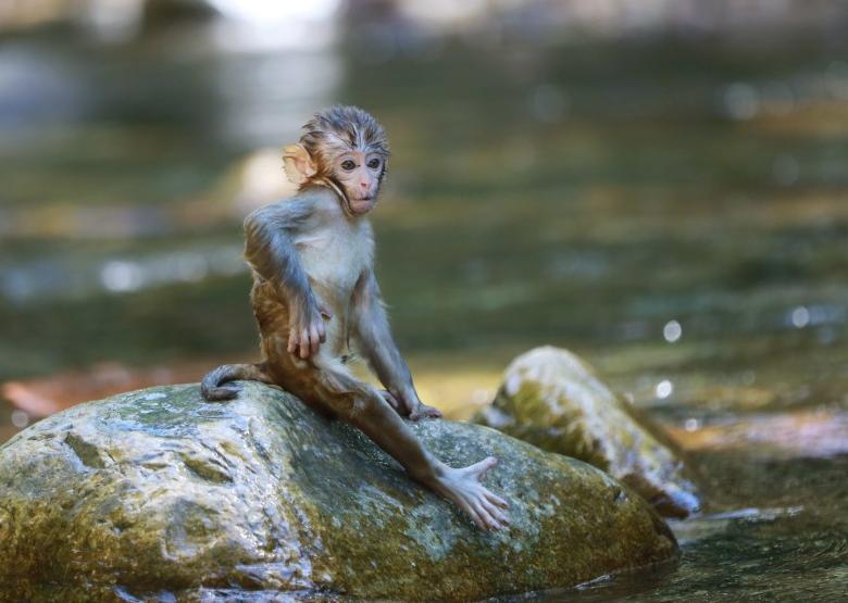 湖南張家界:高溫持續 獼猴戲水覓清涼