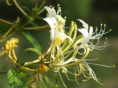 金銀花的9種應季吃法