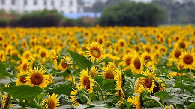 河南洛陽:向陽花開醉遊人