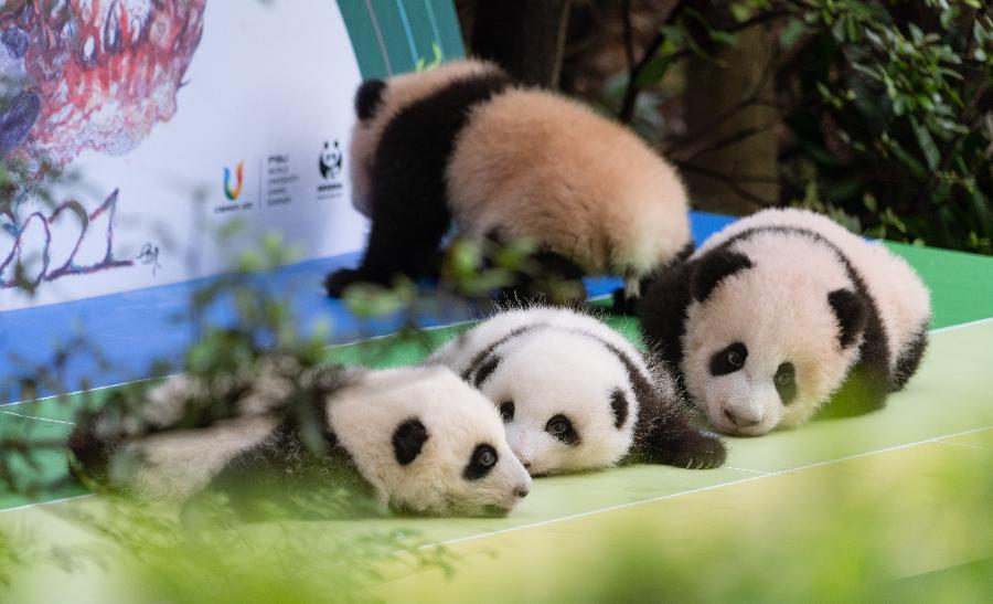 2020年成都新生大熊貓幼仔國慶前亮相