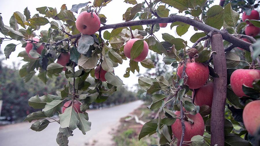 新疆阿克蘇:冰糖心蘋果即將成熟上市