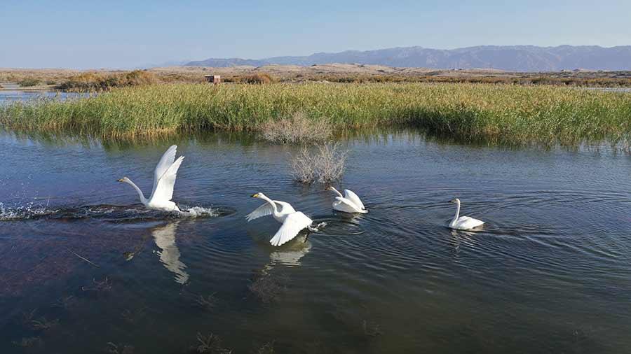 博斯騰湖畔天鵝起舞
