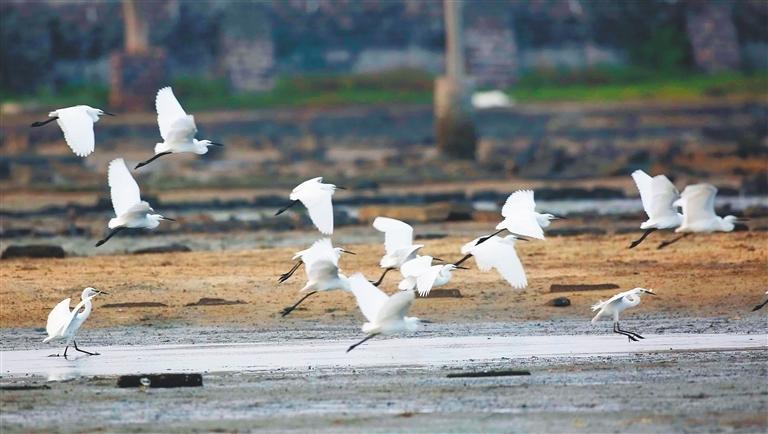 儋州灣:候鳥翩躚