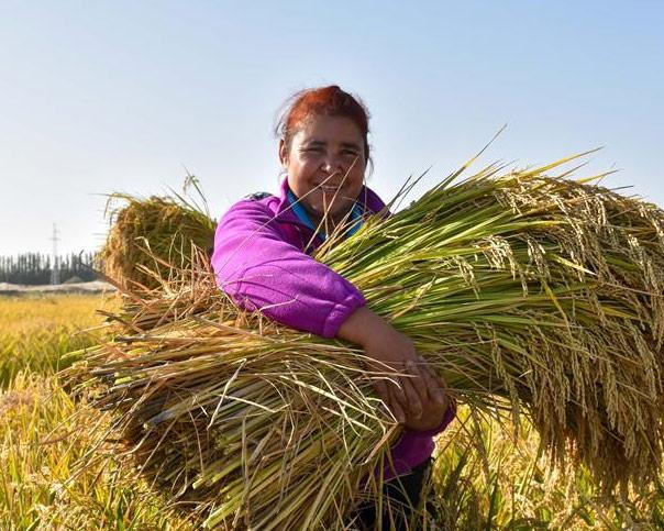 我在塔克拉瑪幹沙漠種水稻