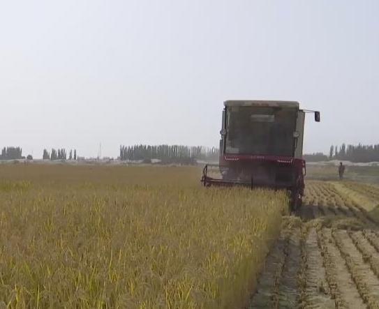 了不起!袁隆平團隊沙漠海水稻再獲豐收