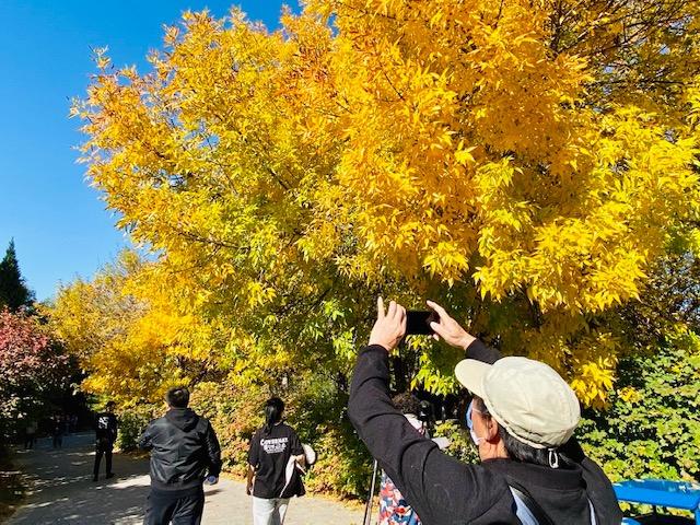 不是銀杏不是黃櫨,秋天最先變美的樹竟然是它