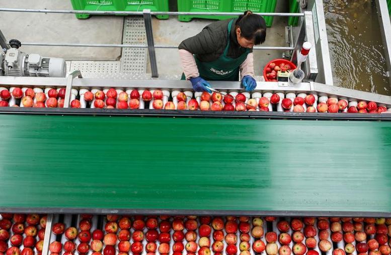 貴州威寧:蘋果産業助脫貧