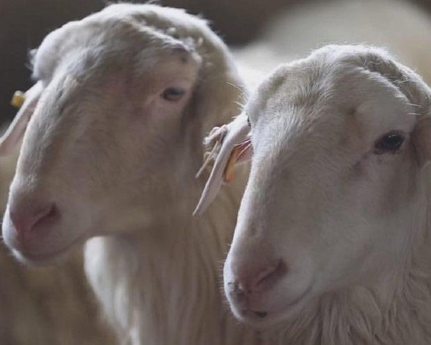 """""""喜羊羊""""們的快樂生活"""