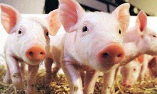 集貿市場生豬價格下降