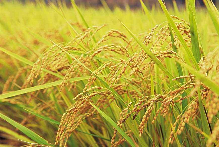 稻米價格後市有望逐步趨穩