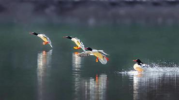 【沸點】野生動物頻繁來渝過冬背後的生態密碼