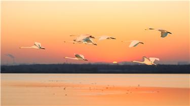 濟南黃河北沉砂池,現天鵝穿日美景