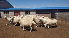 養上致富羊 農戶喜洋洋
