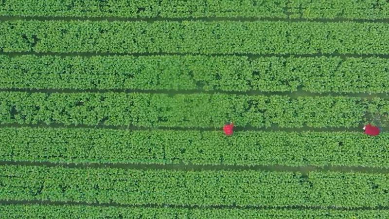 什邡市馬井蔬菜現代農業産業園區豐收啦!