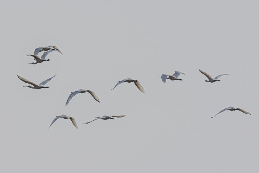 海南東方:黑臉琵鷺濕地越冬