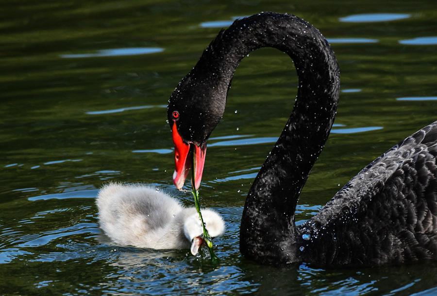 廣州動物園天鵝喜添寶寶