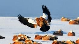 黑河濕地霧淞美 越冬候鳥舞翩躚