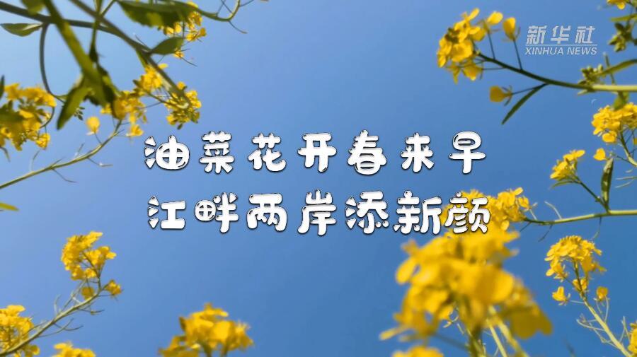 油菜花開春來早 江畔兩岸添新顏