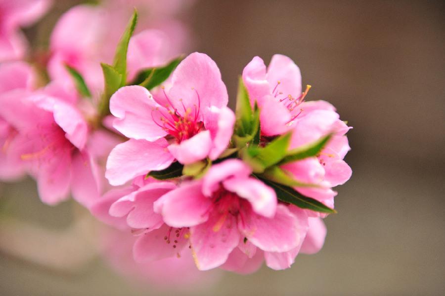 新疆鞏留:溫室大棚桃花開 滿園春色迎客來