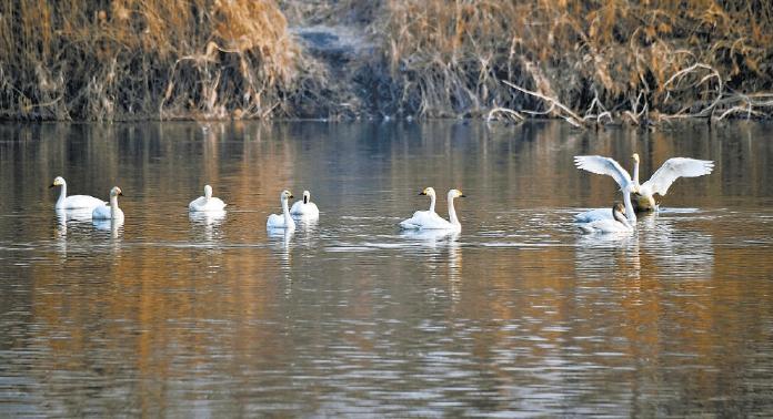 19只天鵝飛臨琉璃河濕地公園