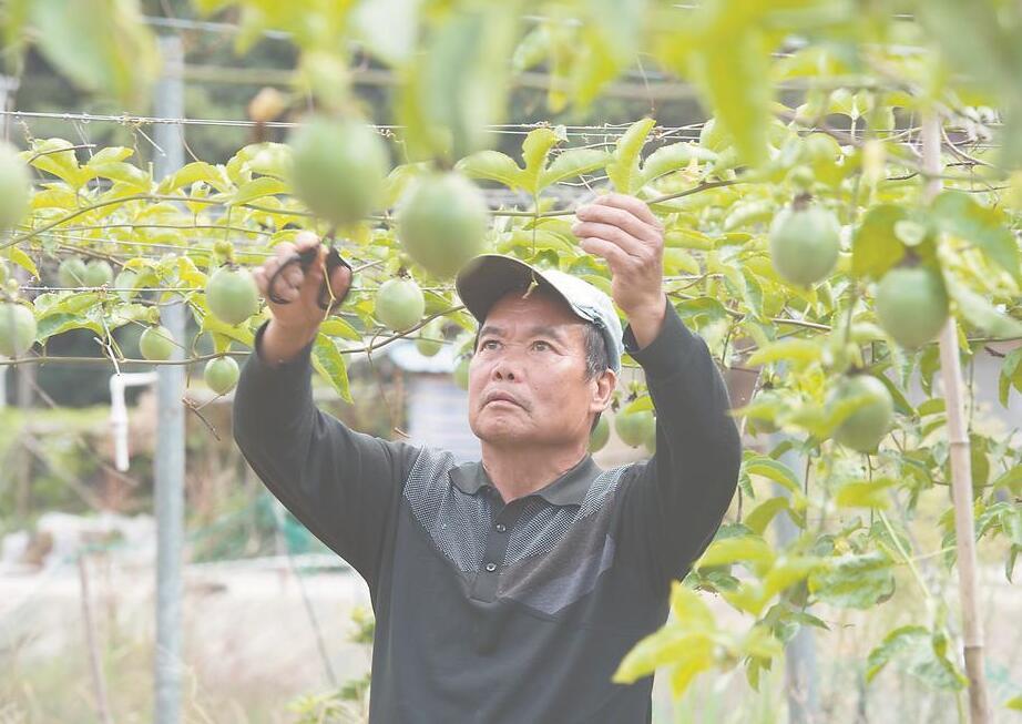 百香果:扶貧新産業養成記