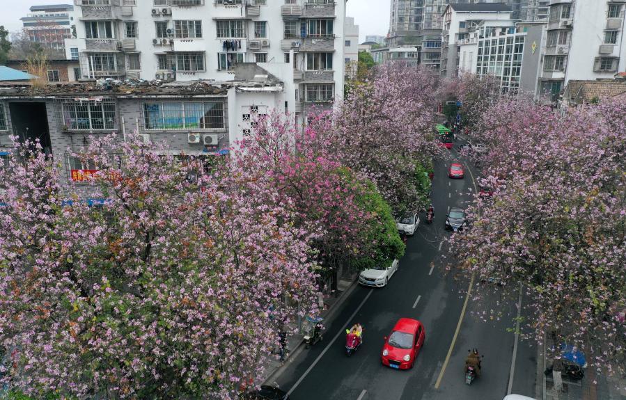 廣西柳州:紫荊花開滿城春