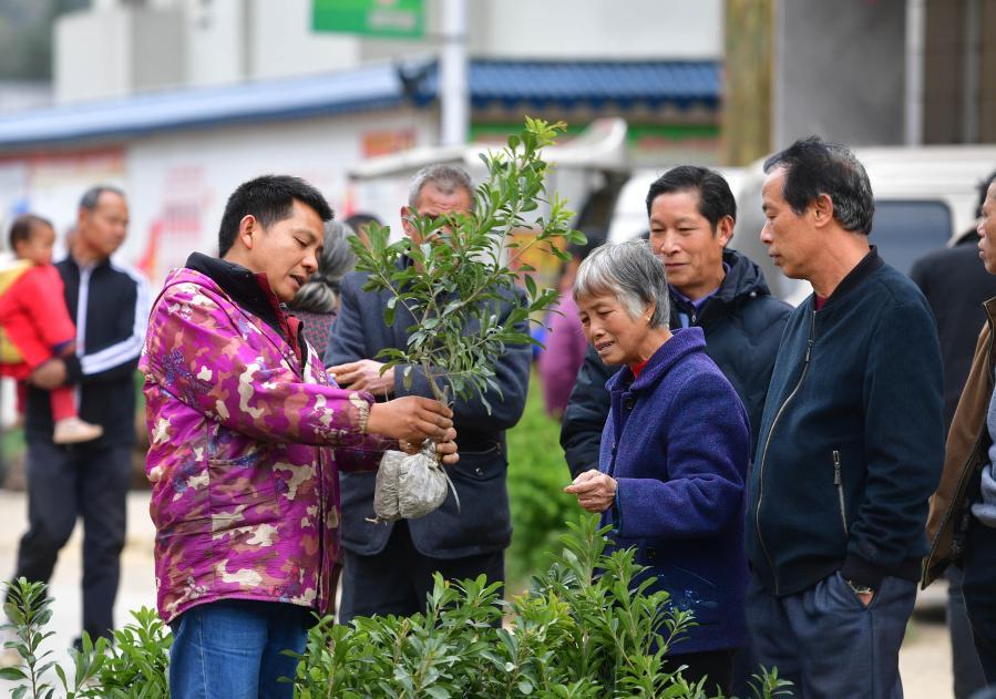 廣西融安:新春圩日購苗忙