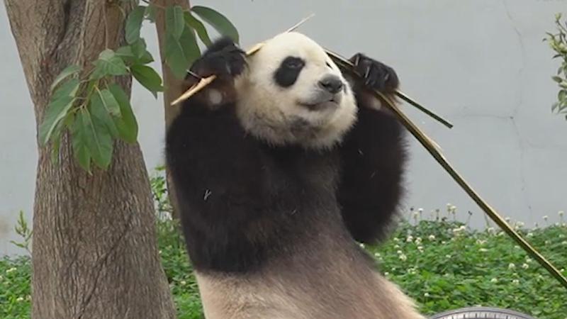 """不愧是""""功夫""""熊貓"""