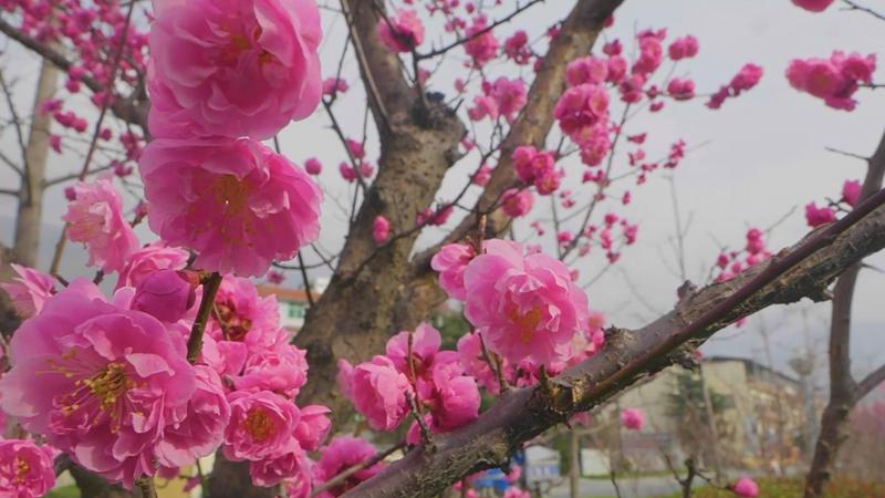 四川茂縣遇上春日暖梅