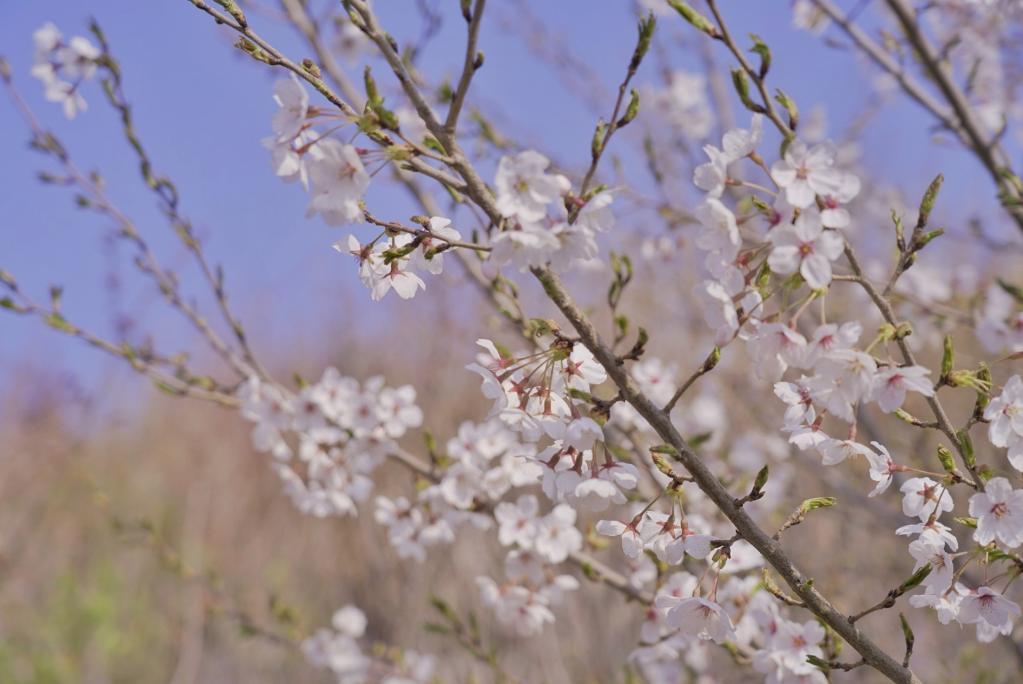 櫻花爛漫春意濃